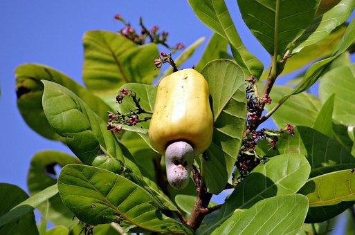 Cashew Nuts, Fruit, Ripe, Yellow, Anacardiaceae, Tree