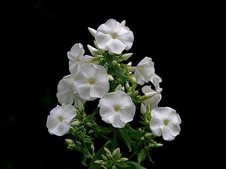 Phlox, White, Flower, Petal, Garden, Bloom, Blossom