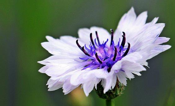 Cornflower, Wild Flower, White Cornflower, White