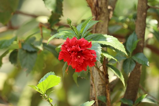 Flower, Nature, Kerala, Hibiscus, Red, Green, Leaf