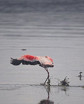 Flamingo, Lake Nakuru, Kenya, Bird, Wildlife, Safari