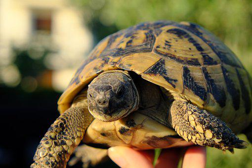 Turtle, Reptile, Animal, Slowly, Tortoise Shell, Panzer