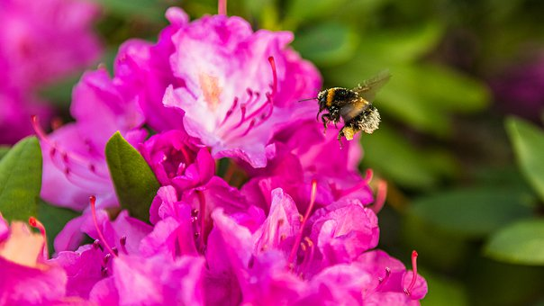 Bumblebee, Insect, Flower, Pollen, Pollination