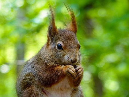 Squirrel, Rodent, Fur, Red, Ear Tufts, Eat, Foraging