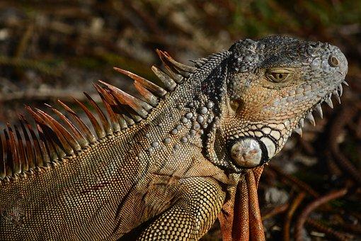 Iguana, Head, Tilted, Side, View, Close, Up, Lizard