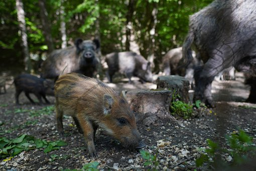 Wild Boar, Pig, Sows, Animal, Nature, The Zoo, Mammals
