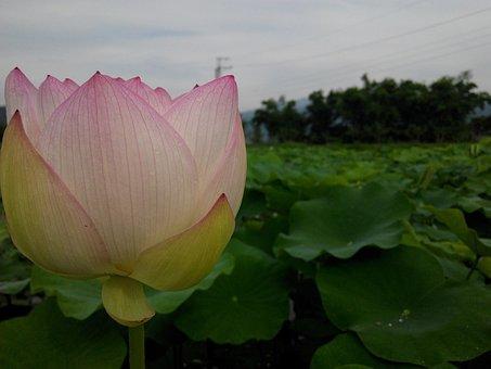 Flower, Lotus, Park, Fresh Bright