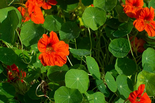 Nasturtium, Flower, Garden, Orange, Plant, Bloom