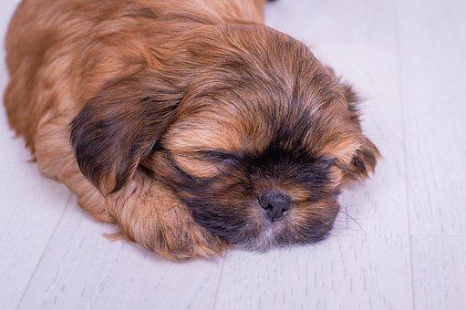 Dog, Shorkie, Shitzu, Puppy, Cute, Brown