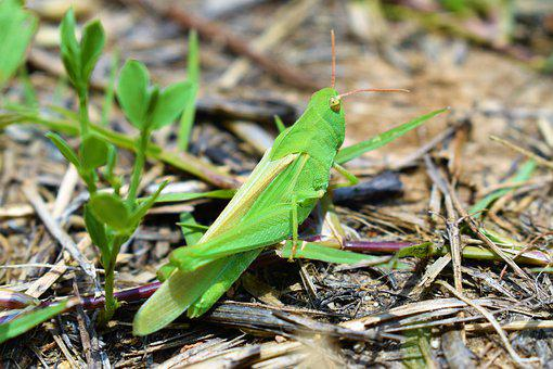 Grasshopper, Locust, Camouflage, Stealth, Insect, Green