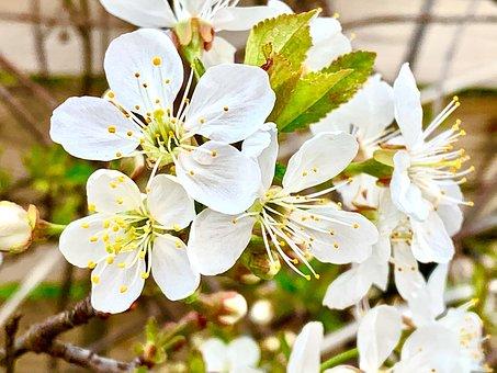 Cherry Blossom, Cherry, Tree, Spring
