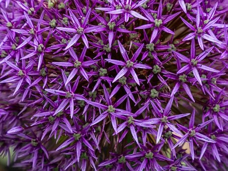 Garlic, Flower, Star, Purple, Retail, Rosette, Group