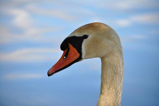 Mute Swan, Cygnus Olor, Swan, Bird, Water, White