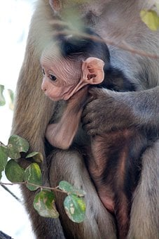 Monkeys, Baby Monkey, Baby And Mom, Animals, Wildlife