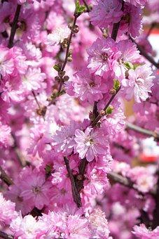 Sakura, Bloom, Pink Flowers