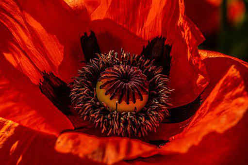 Blossom, Bloom, Poppy, Red Capsule, Flower