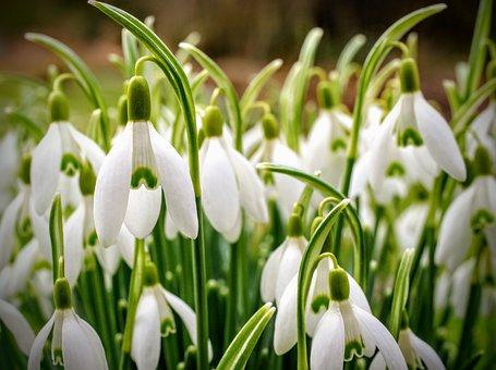 Snowdrop, Flower, White, Green, Nature, Plant, Flowers