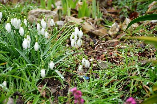 Snowdrop, Garden, Green, Flower, Early Bloomer, Spring
