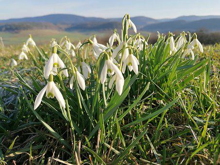 Schneeglöckchen, Natur, Blume, Snowdrop, Spring, Flower