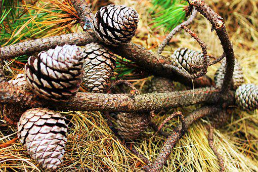 Pine, Cone, Pine Cone, Nature, Natural, Tree, Branches