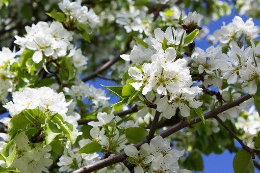 Apple Tree, Tree In Flowers, Bloom, Spring, Nature