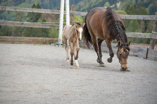 Horse, Pony, Foal, Dam, Mare, Young Animal, Newborn
