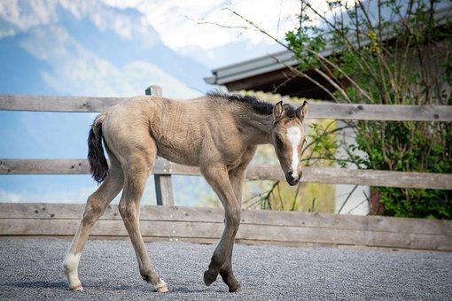 Foal, Newborn, Horse, Pony, Riding Pony, Mare, Dun