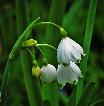 Snowdrops, Flowers, Bloom, White, Nature, Plant, Garden