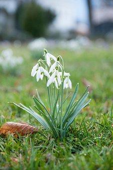 Flower, Snowdrop, Spring, Nature, Garden, Plant