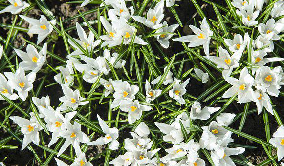 Snowdrops, Flowers, Spring, Flora, Bloom, Snowdrop