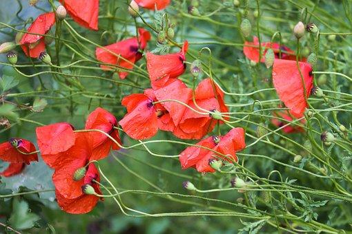 Poppies, Poppy Flower, Wet, Drop Of Water, Klatschmohn