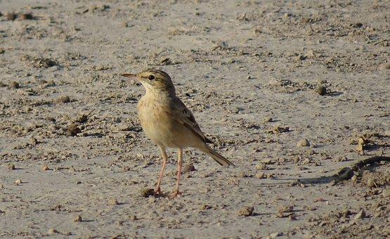 Bird, Tawny Pipit, Anthus Campestris, Passerine, Fauna