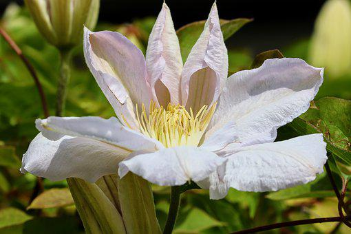 Clematis, White, Blossom, Bloom, Close Up, Bloom