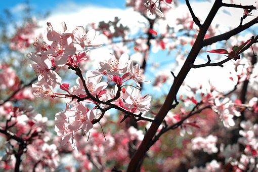 Apple Tree, Bloom, Blossom, Flowers, Spring, Landscape