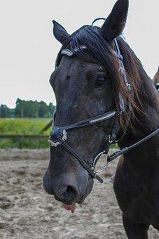 Horse, Horses, Stallion, Animals, Nature