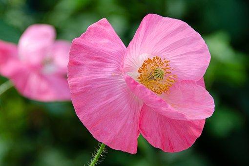 Klatschmohn, Poppy, Blossom, Bloom, Pink, Meadow