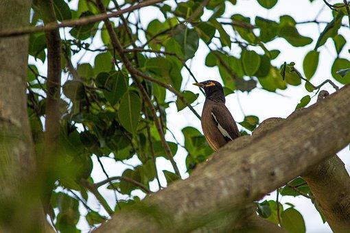 Myna, Bird, Starling, India, Mynah, Wildlife, Nature