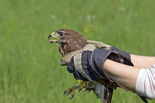 Falco, Buzzard, Birds, Raptors, Animals, Wild, Predator