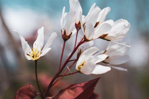 Shadbush, Flower, Spring, Blossom, White, Tree, Nature