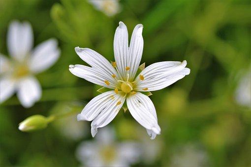 Stellaria Holostea, Star Ming, Blumengas, Stitchwort