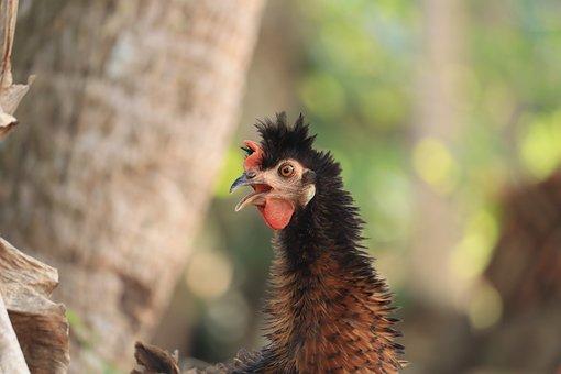 Kerala, Hen, Male, Chicken, Bird, Nature, Farm, Animal