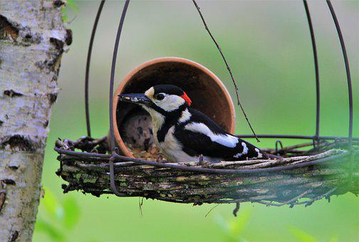 Great Spotted Woodpecker, Fat Balls