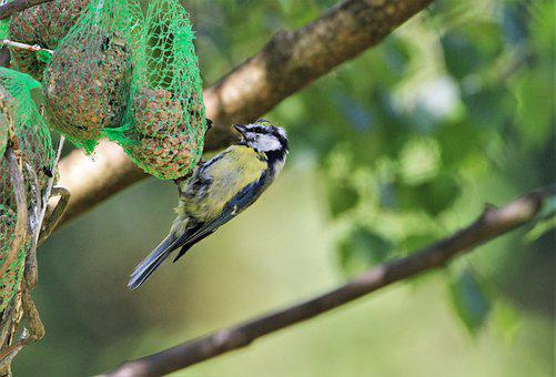 Blue Tit, Tit, Feed Dumplings, Fat Balls, Feeding Place