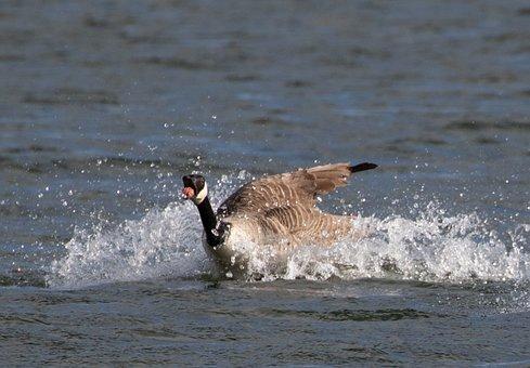 Canada Goose Landing On Lake, Lake, Goose, Flying, Bird
