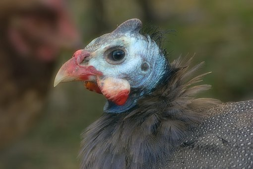 Hen, Guinea Fowl, Bird, Poultry, Plumage, Animal, Beak