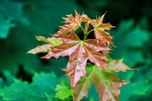 Leaf, Maple, Nature, Tree, Maple Leaf, Plant
