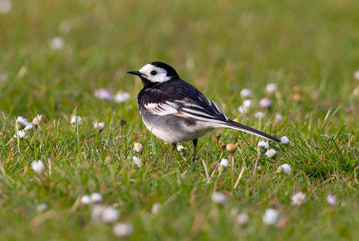 Pied Wagtail, Wagtail, Small Bird, Black