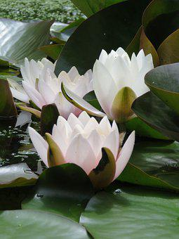 Pond, Water Lily, Flower, Water Plant