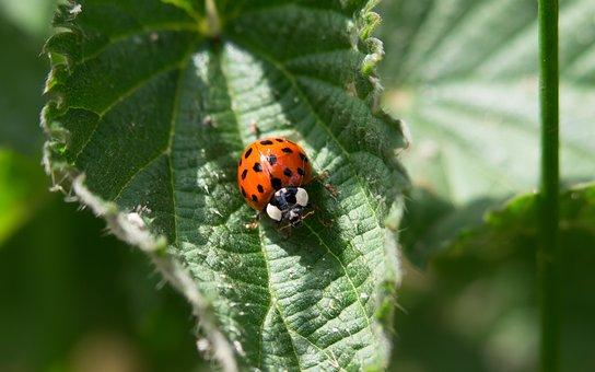Ladybug, Beetle, Leaf, Sit, Eat, Insect, Points