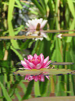 Waterlilies, Leaves, Pond, Water
